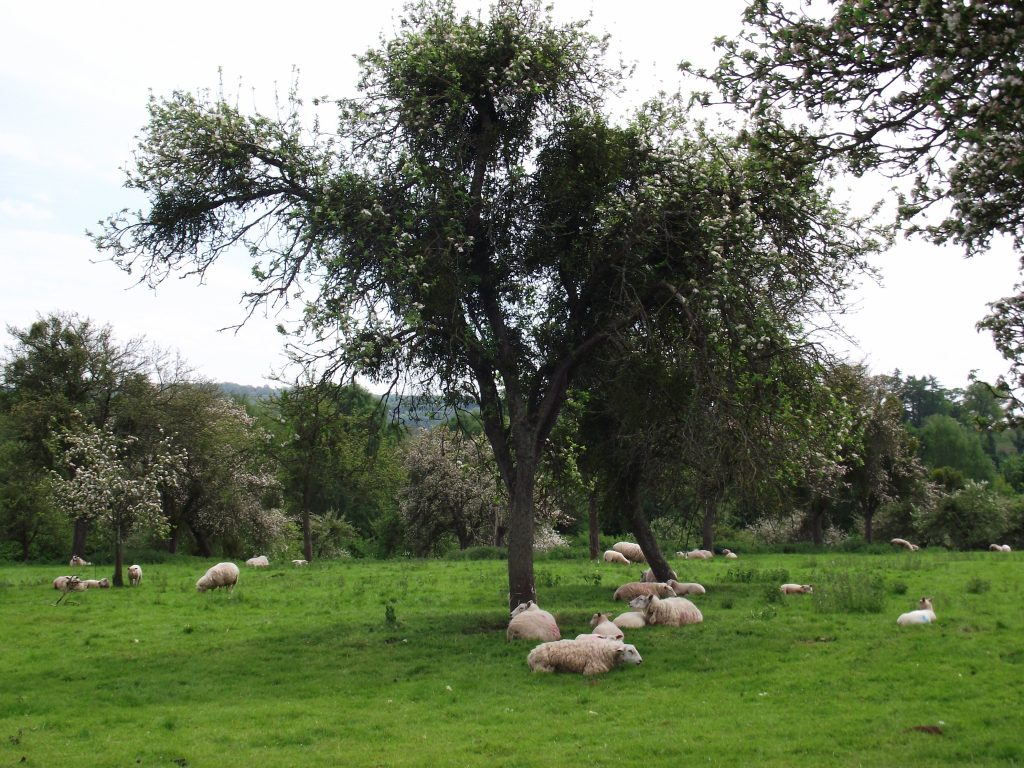 Oxnalls orchard visit May 2015 with Harriet Carty 001