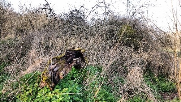 A fallen apple tree overcome with nettle and bramble